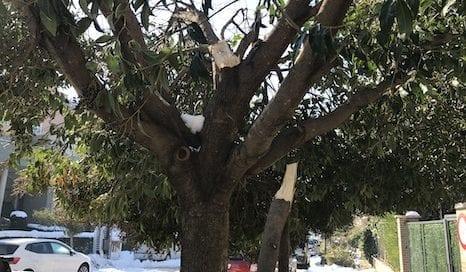 árboles-dañados-filomena-ramas-osbo