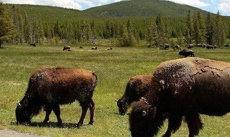 bisonte-praderas-america-incendios-osbo