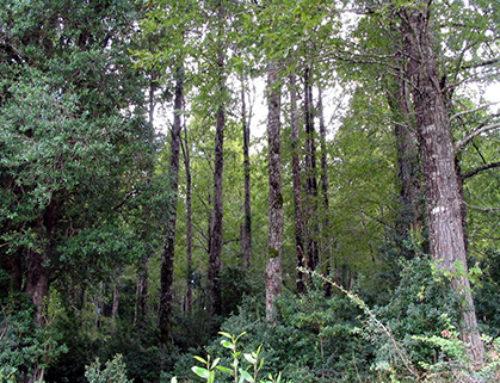 En defensa de la gestión forestal en los bosques nativos chilenos