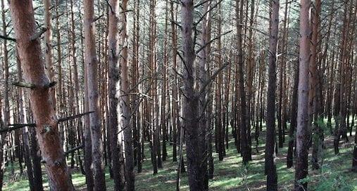 bosque-pinos-silvestre-osbo