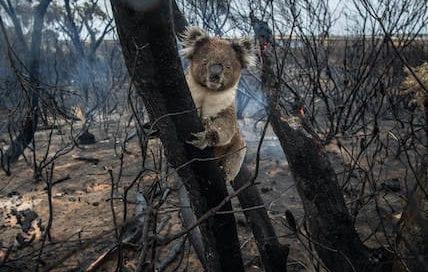 australia-koala-incendios-wwf-osbo