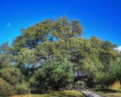 encina-lecina-árbol-año-2021-osbo