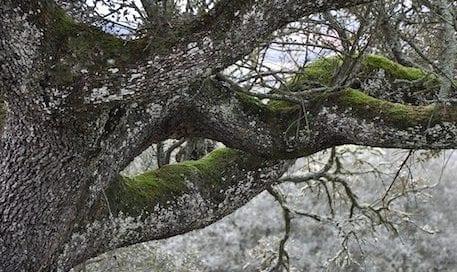 encina-oak-ramas-osbo