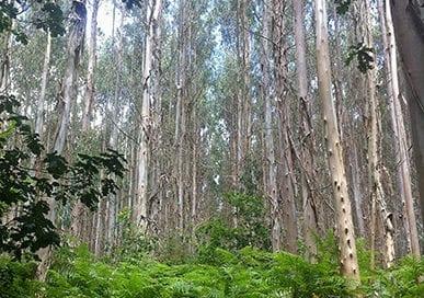 galicia-inventario-forestal-eucalipto