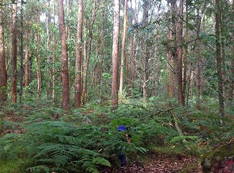 galicia-inventario-forestal-pinos