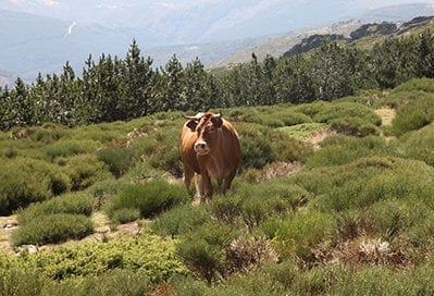 ganado-bosque-uso-comun
