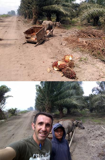 Indonesia-piña-palma-duce-kalimantan