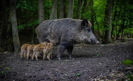 jabalina-bermejos-oakgreen-osbo