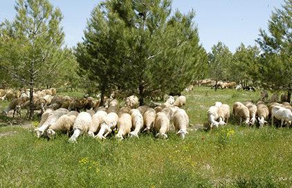ovejas, monte, prevención