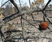 terreno-quemado-piña-abierta
